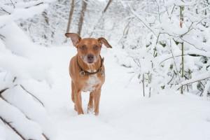 """Wenn der Hund """"winterfest"""" ist, muss man auch bei Schnee nicht auf den Spaziergang verzichten.  Foto: BfT/Klostermann"""