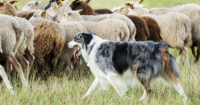 Arbeitsrassen als Familienhunde?